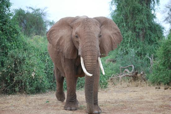 Samburu Intrepids Luxury Tented Camp: Samburu has the best elephants so friendly and entertaining