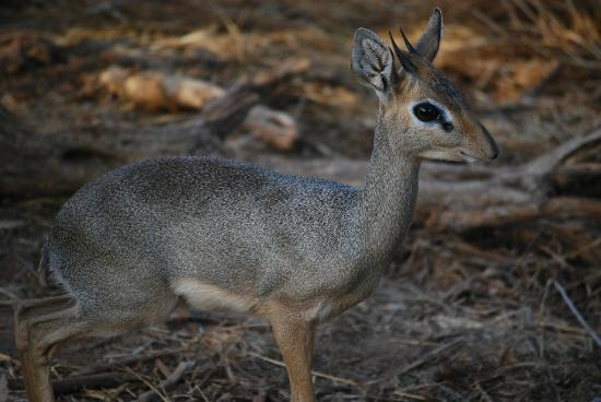 Samburu Intrepids Luxury Tented Camp: Dik Dik - cutest little creatures
