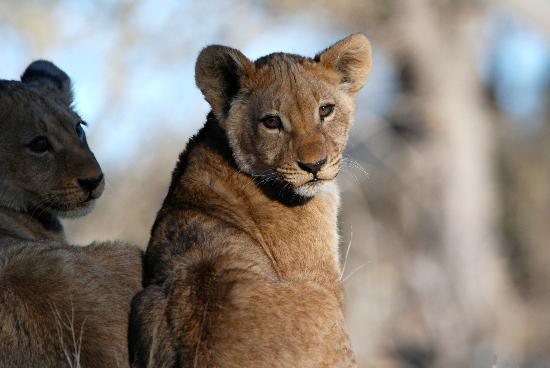 Wilderness Safaris Kings Pool Camp : 6 month old cubs