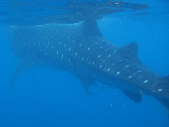 Underwater expeditions -  Tour Tiburon Ballena: Tiburón