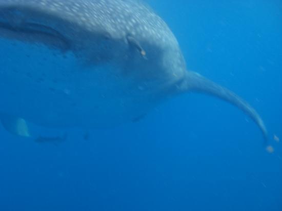 Underwater expeditions -  Tour Tiburon Ballena: De frente