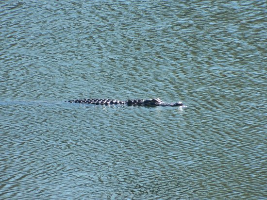 Brick Pond Park: Alligator