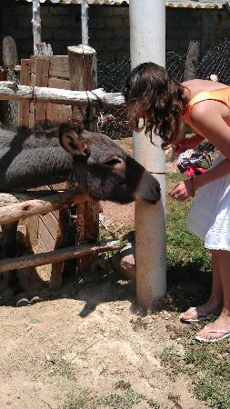 فييستا أميركانا هاسيندا جاليندو: La burra en la zona de la granja, muy amistosa, le gusta la fruta 
