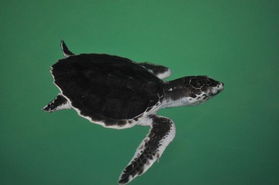 Sea Turtle, Inc.: Baby turtle