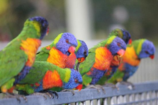 Magnetic Island Bed & Breakfast: Lorikeets on the pool fence first thing in the morning