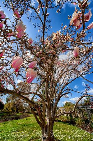 The Huntington Library, Art Collections and Botanical Gardens: Magnolia blassom