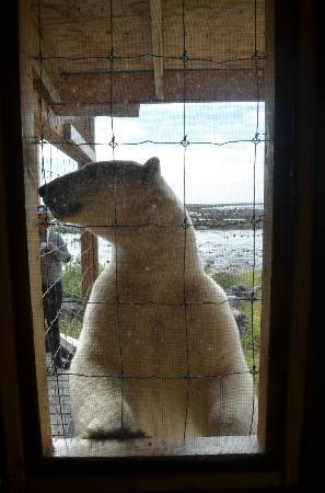 Seal River Heritage Lodge: visiting bear