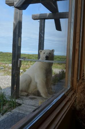 Seal River Heritage Lodge: bear at door