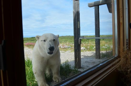 Seal River Heritage Lodge: bear at lodge window