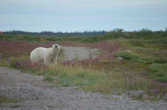 Seal River Heritage Lodge: curious bear