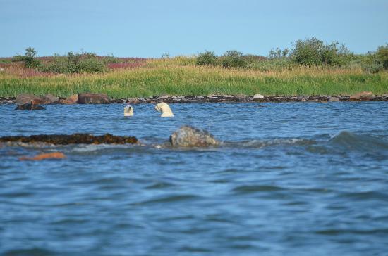 Seal River Heritage Lodge: swimming bears 