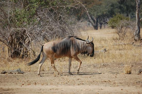Mchenja Bush Camp - Norman Carr Safaris: Cookson's Wildebeest