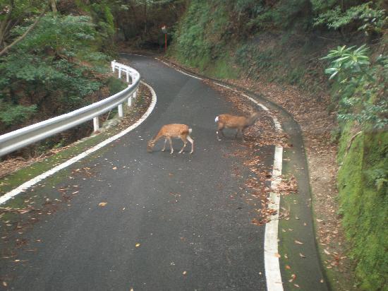 Seibu Trail : 林道に出てきた屋久鹿の群れ