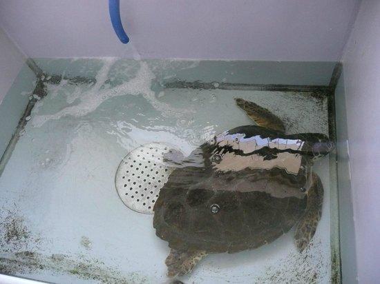 Isola di Capo Rizzuto, Taliansko: Tartaruga caretta-caretta in cura