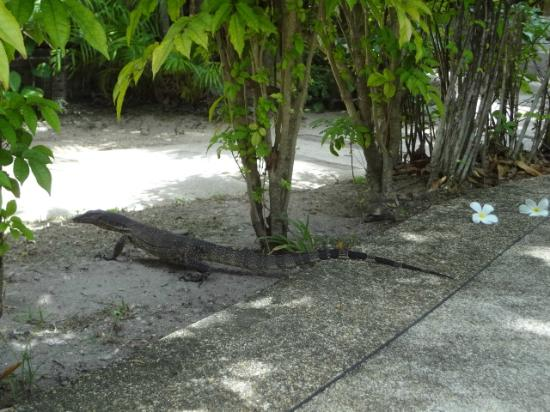 Sunrise Tropical Resort: Resident friendly Monitor lizard