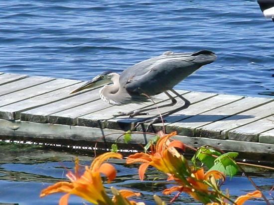 Stirling Lodge: George the Blue Heron Looking for Fish
