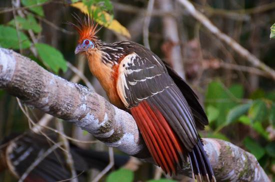 La Selva Amazon Ecolodge : Une poule d'amazonie