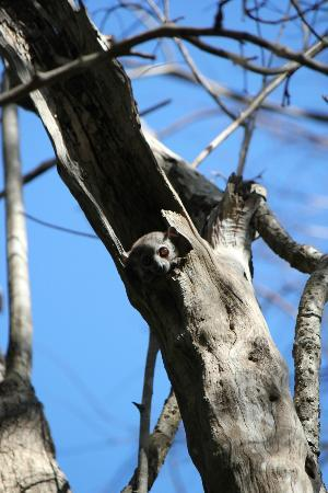 Anjajavy L'Hotel: A sportive lemur on the lookout!