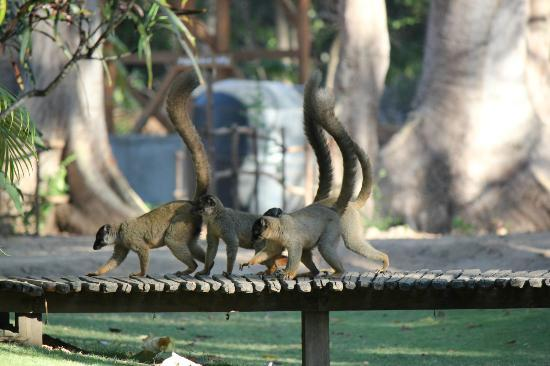 Anjajavy L'Hotel: Brown lemurs in the Oasis