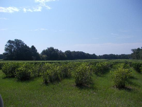 Charleston Tea Plantation: Tea Plants enjoying the sunshine.