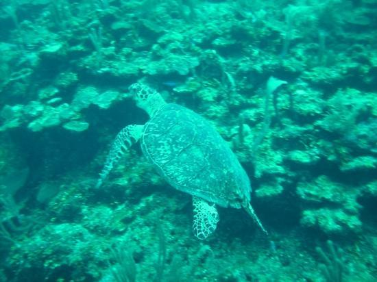 Maya Palms Resort & Dive Center: Just another Turtle