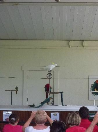 Sarasota Jungle Gardens: Frosty, the cockatoo!