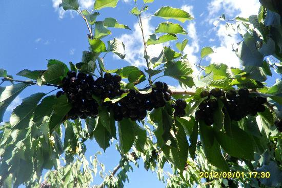Elephant Island Orchard Wines: Cherry Trees on Site at the Winery