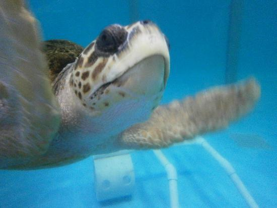 Mote Marine Laboratory and Aquarium: Turtle!