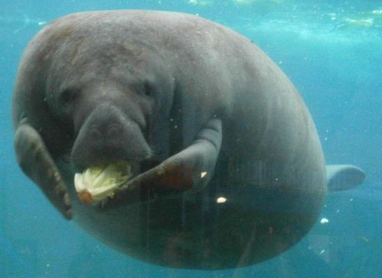 Mote Marine Laboratory and Aquarium: Manatee