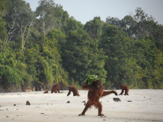Rungan Sari Meeting Center & Resort: Orangutans on the Sungai Rungan