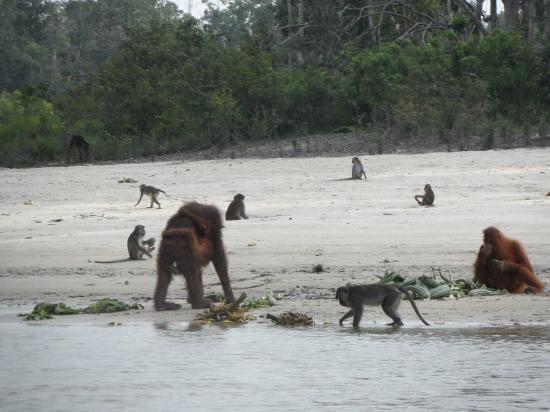 Rungan Sari Meeting Center & Resort: Orangutans viewed on a boat-trip up the Sungai Rungan