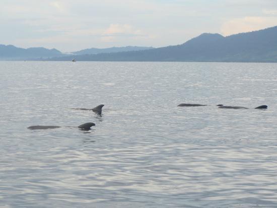 Pulisan Jungle Beach Resort: Delphine während Bootstrip mit Fischer