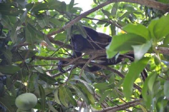 Bella Vista Mar: Bella Vista Howler Likes Mango