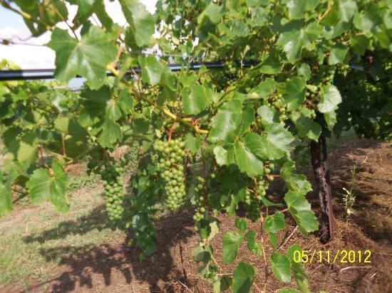 Windy Winery blanc du bois 2012 harvest