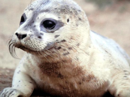 """Friedrichskoog, Alemanha: """"Heuler"""" - so nennt man mutterlose Seehundbaby's"""