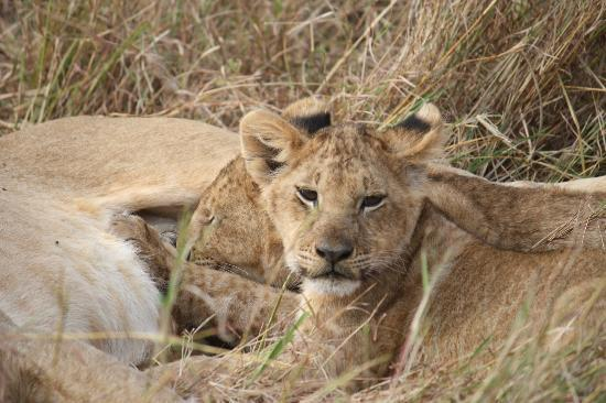 Cottar's 1920's & Cottar's Bush Villa: Nursing Cubs, Cottars Safari