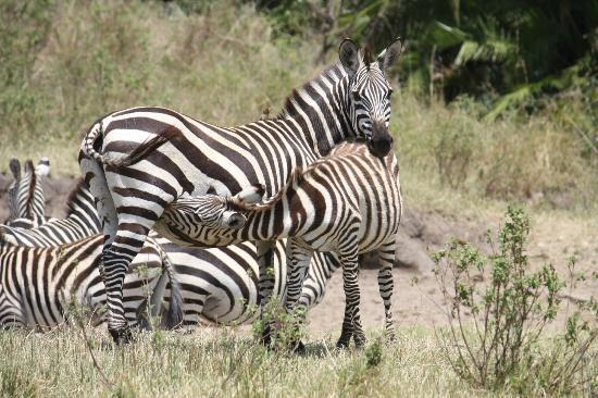 Cottar's 1920's Camp: Nursing Zebra, Cottars Safari
