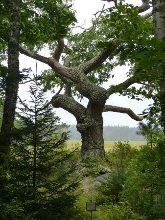 Bates-Morse Mountain Conservation Area: Ancient oak tree