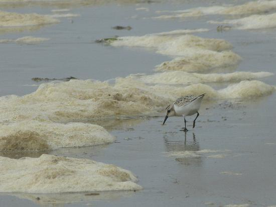 Bates-Morse Mountain Conservation Area: one of many sand pipers