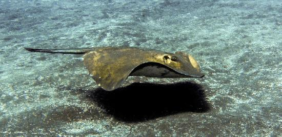 Easy Divers: common stingray