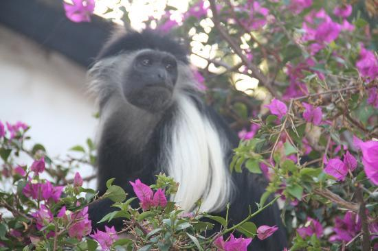 Pinewood Beach Resort & Spa: Colobus Monkey