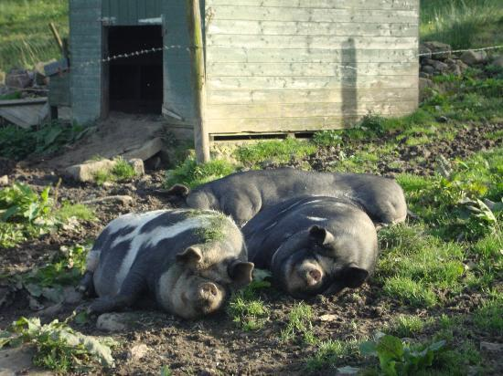 Turnerford Fold : Happy pigs!