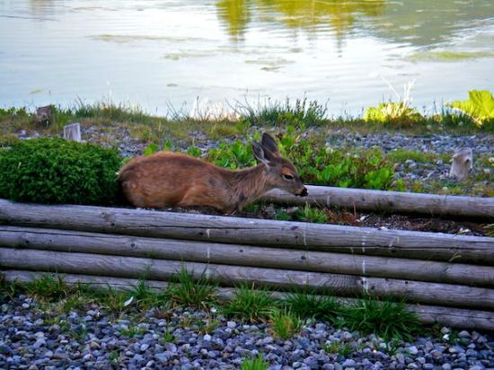 Canadian Princess Lodge: Lots of fearless deer in Ucluelet