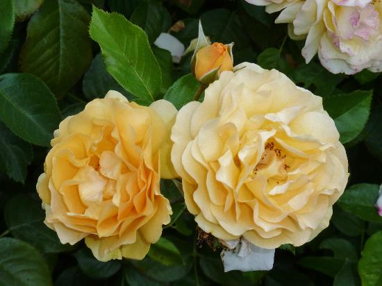 Roses In Garden: Rose Garden On A Cloudy Day