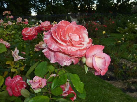 Roses In Garden: Picture Of Municipal Rose Garden, San