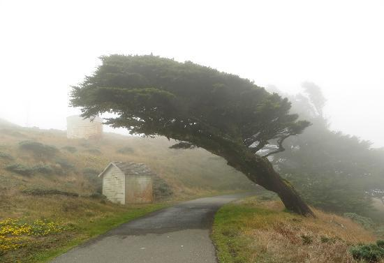 Point Reyes Station, Калифорния: Monterey Cypress Tree in the fog.