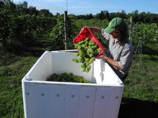 Shelburne Vineyard: Ethan harvesting!