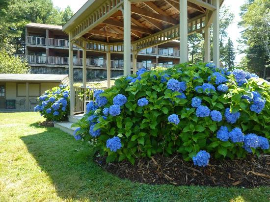 أوشن جيت ريزورت: Gorgeous hydrangeas!!! 