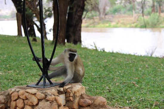 Samburu Game Lodge: The local monkeys on the property...