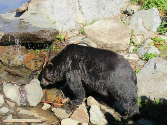 Grouse Mountain Skyride: Get a really close look at 1 grizzly bears!